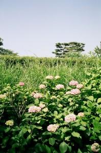 多摩川の紫陽花