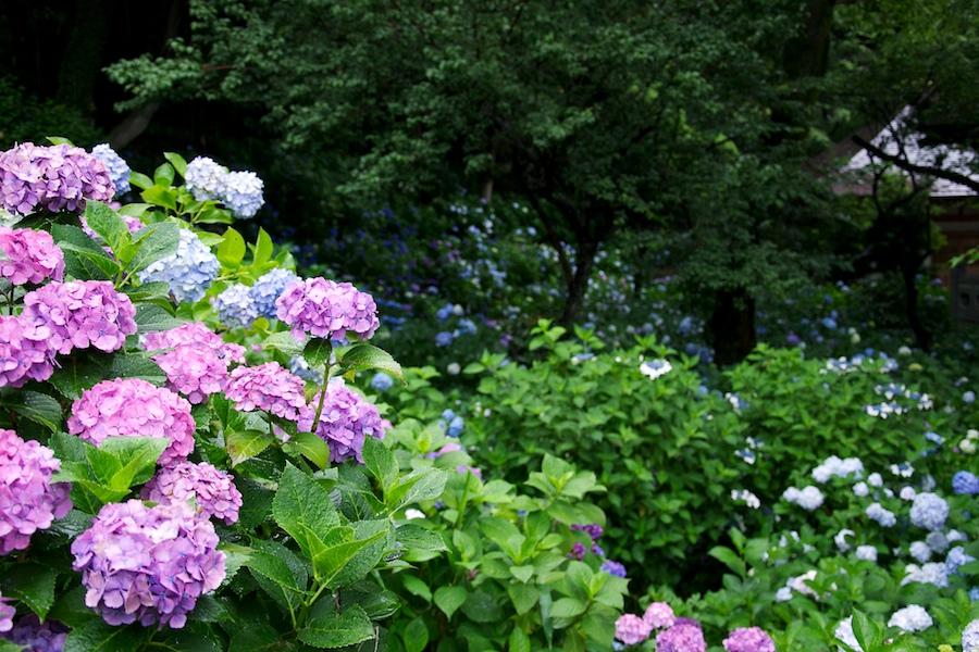 妙楽寺の紫陽花