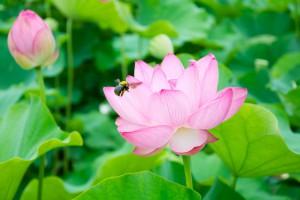 oyamada-lotus_06