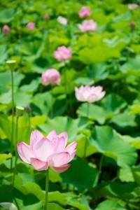 oyamada-lotus_08