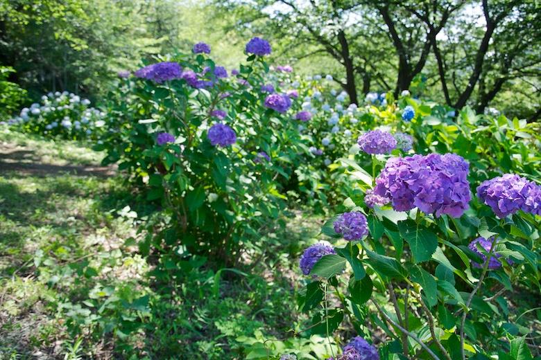 正覚寺の紫陽花