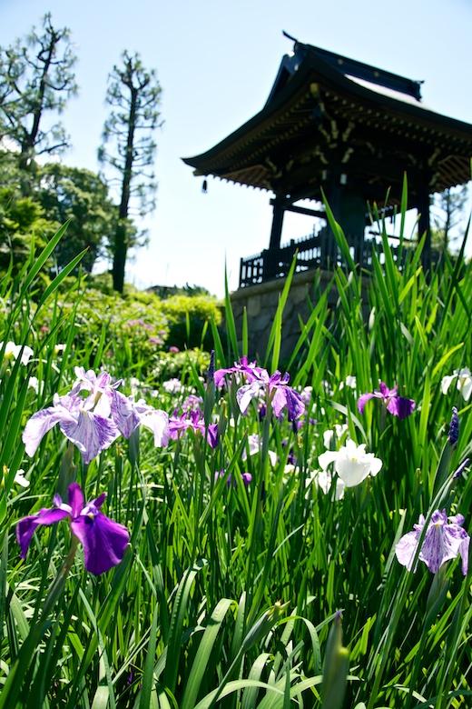 正覚寺の菖蒲園