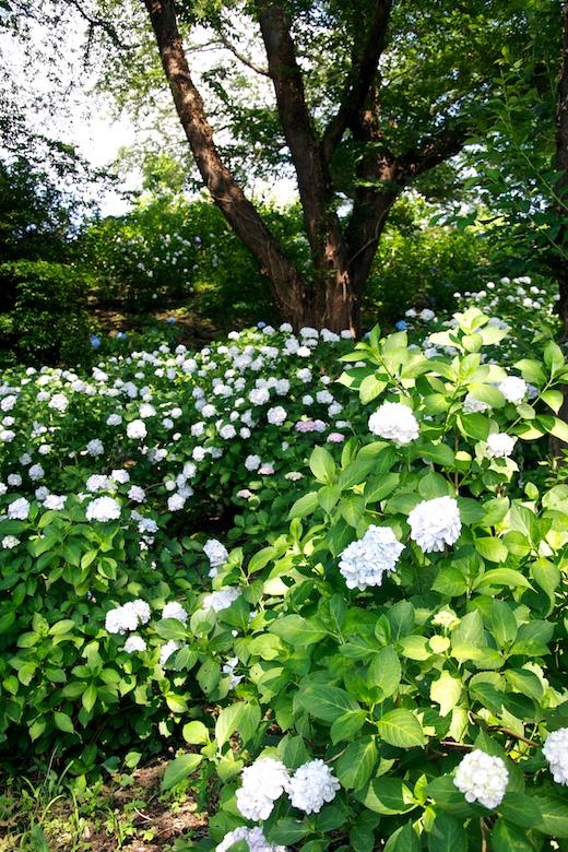 正覚寺の斜面の紫陽花