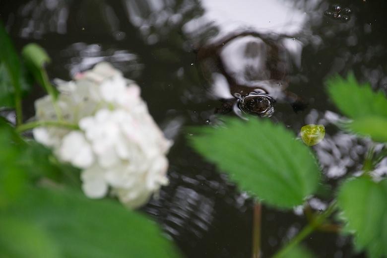 目黒自然教育園の紫陽花と亀
